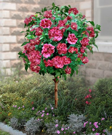 Take a look at this double red hardy hibiscus tree by for Hardy flowering trees