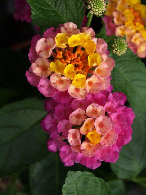 Lantana Sunrise Rose Lantana Rose Garden Center