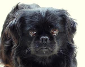 Topper Pekingese Dog Waco Tx Pekingese Dogs Pekingese Dog Adoption