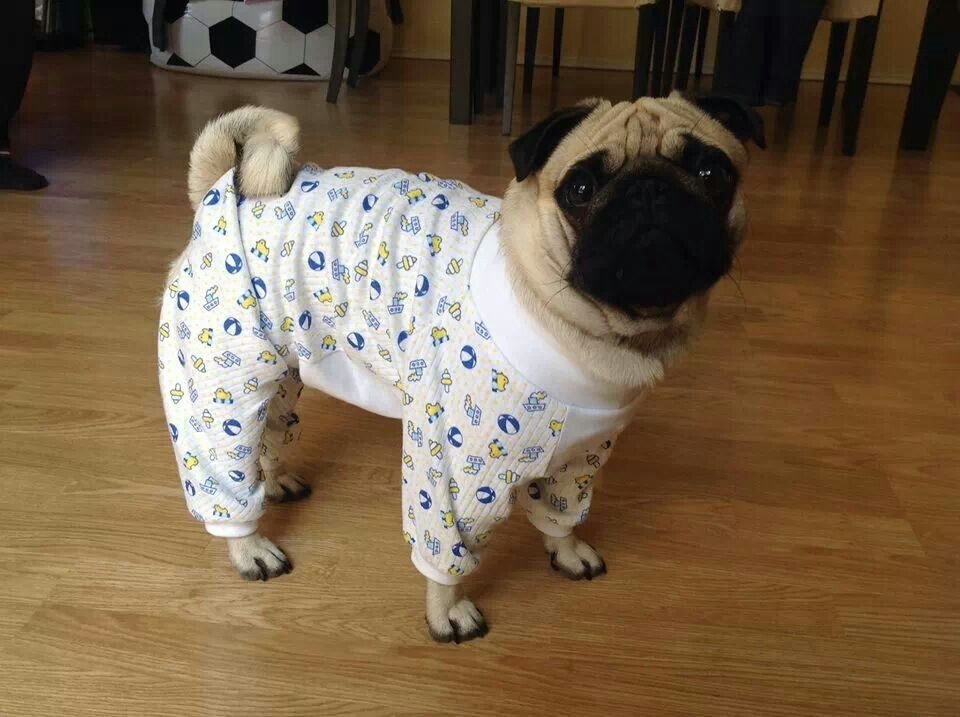 Aww Puggy In Pjs Pugaddict Com Join Our Facebook Page At