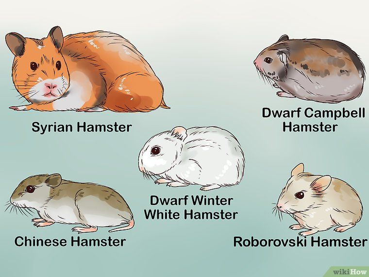 Veterinarian Approved Advice On How To Care For A Hamster Hamster Care Cute Hamsters Hamster