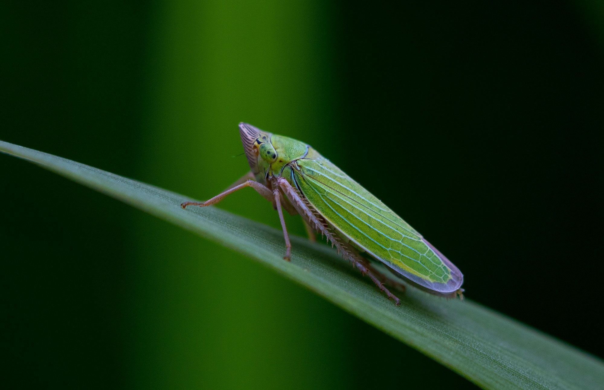 A Leafhopper in the meadows of Jefferson Park Wilderness