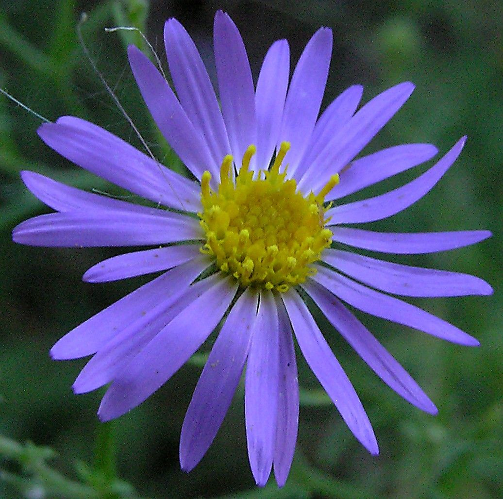 I kind of like this flower it is an aster. Never heard of