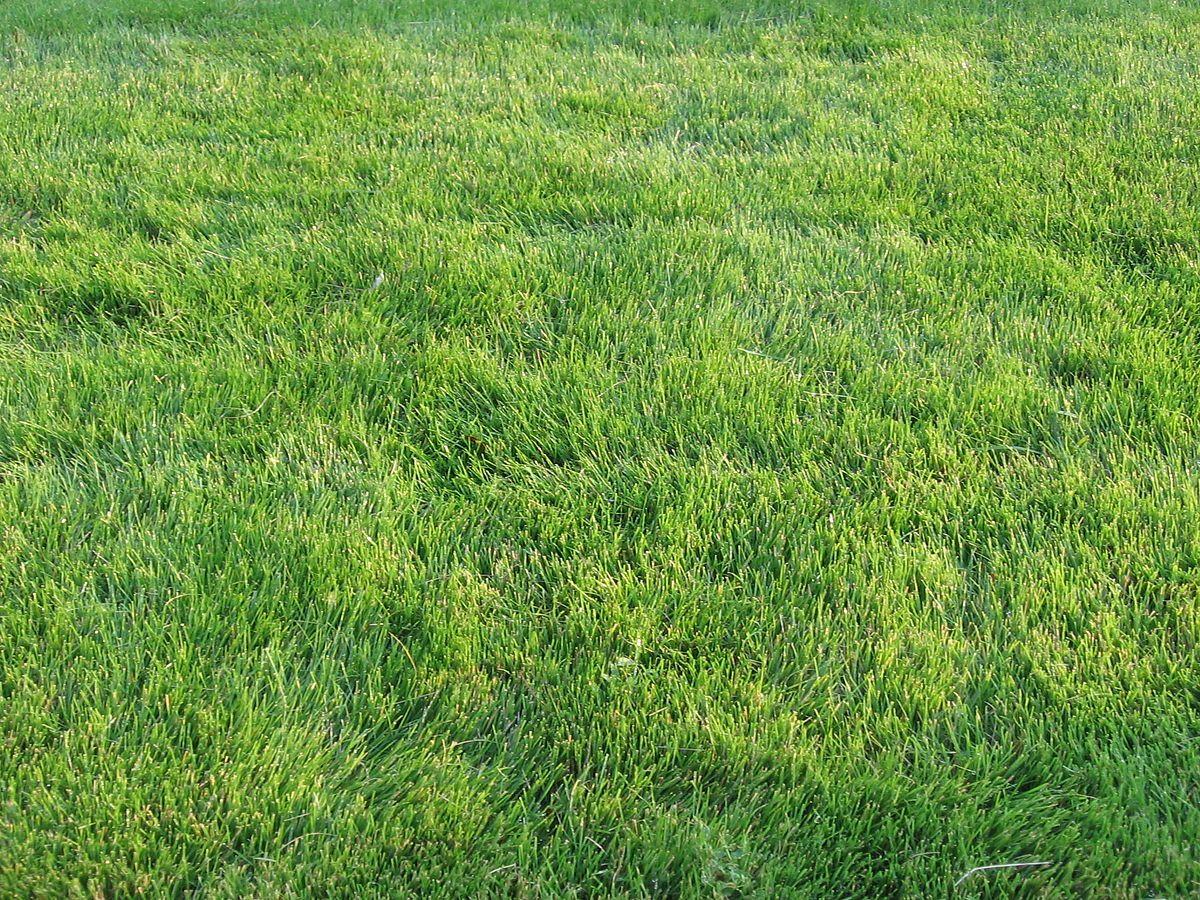 Zoysia Emerald Wikipedia Drought Tolerant Grass Zoysia Grass Drought Tolerant Landscape