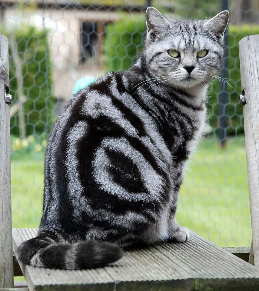 Close Timeline Photos Tag Photo Options Send In Messenger Like Comment Share In 2020 American Shorthair Cat Silver Tabby Cat British Shorthair Kittens