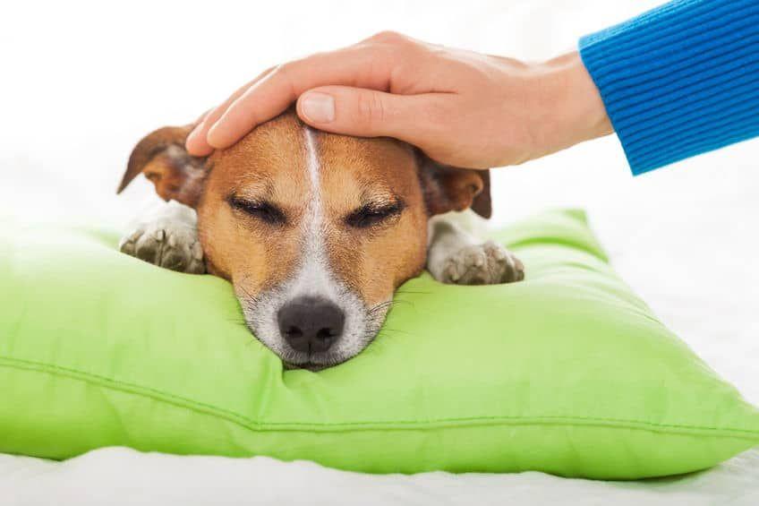 Hund Hat Blut Im Stuhl - Tierische Tapete