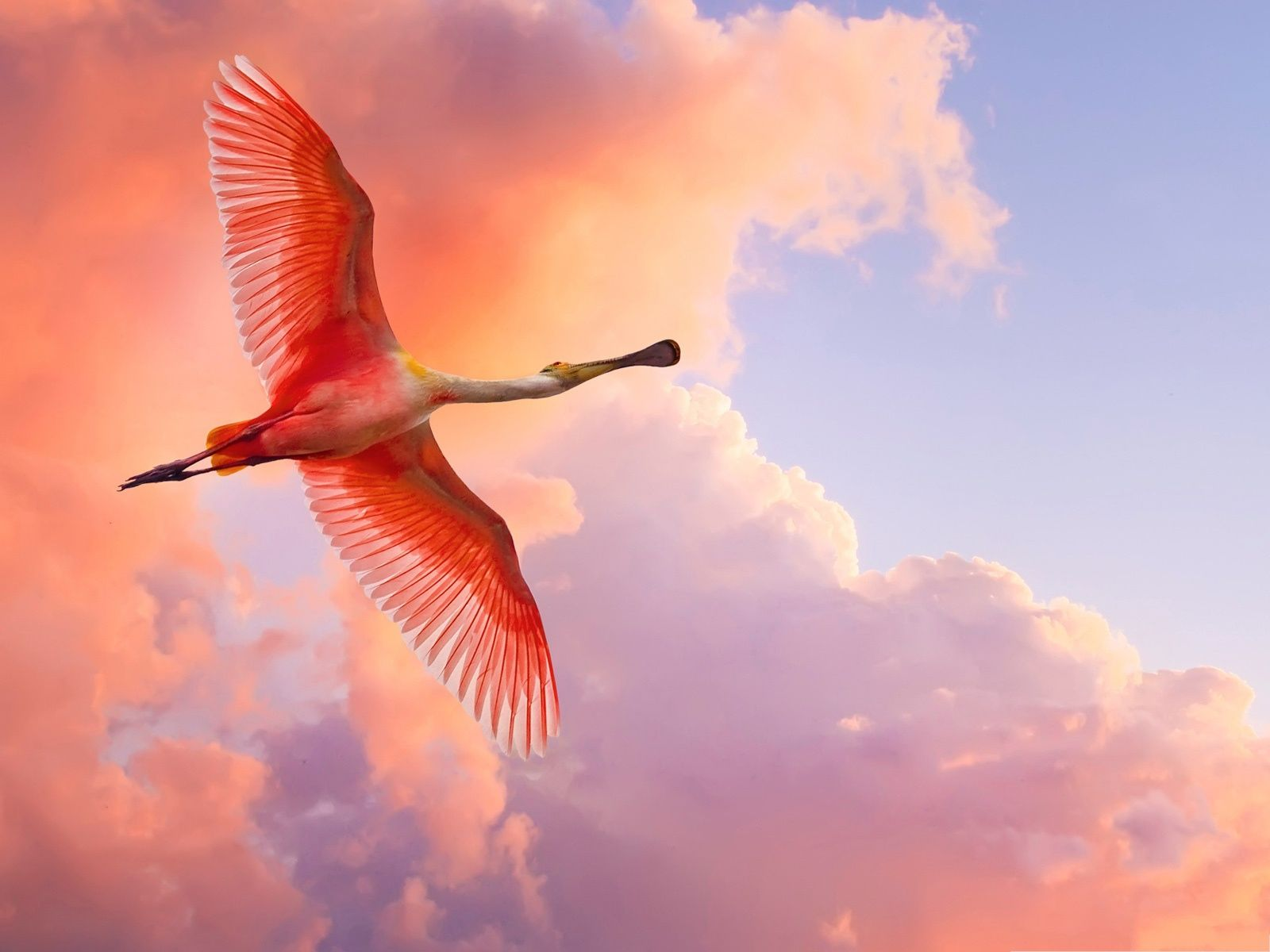 Beautiful Flying Bird Red Stretched Wings Big And Perfect Body The Best Decoration 1600x1200 Free Wallpaper Do Birds Flying Roseate Spoonbill Bird Wallpaper