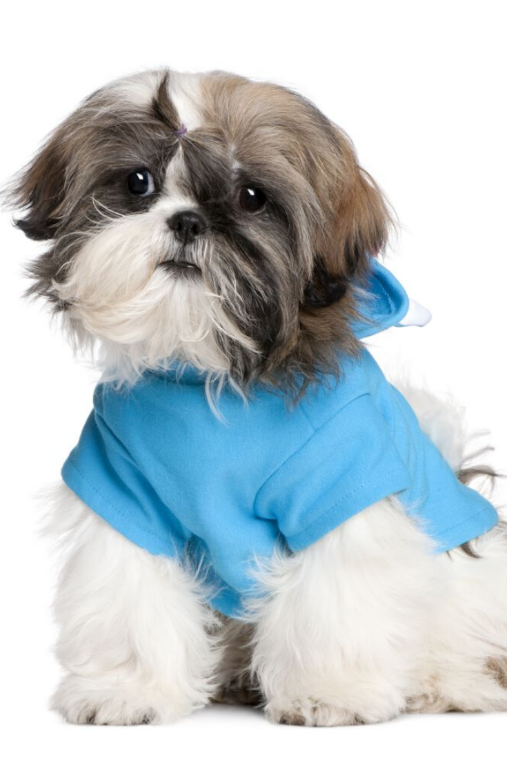 Shih Tzu With Dresses In Front Of A White Background Shihtzu Shih Tzu Dogs Animals