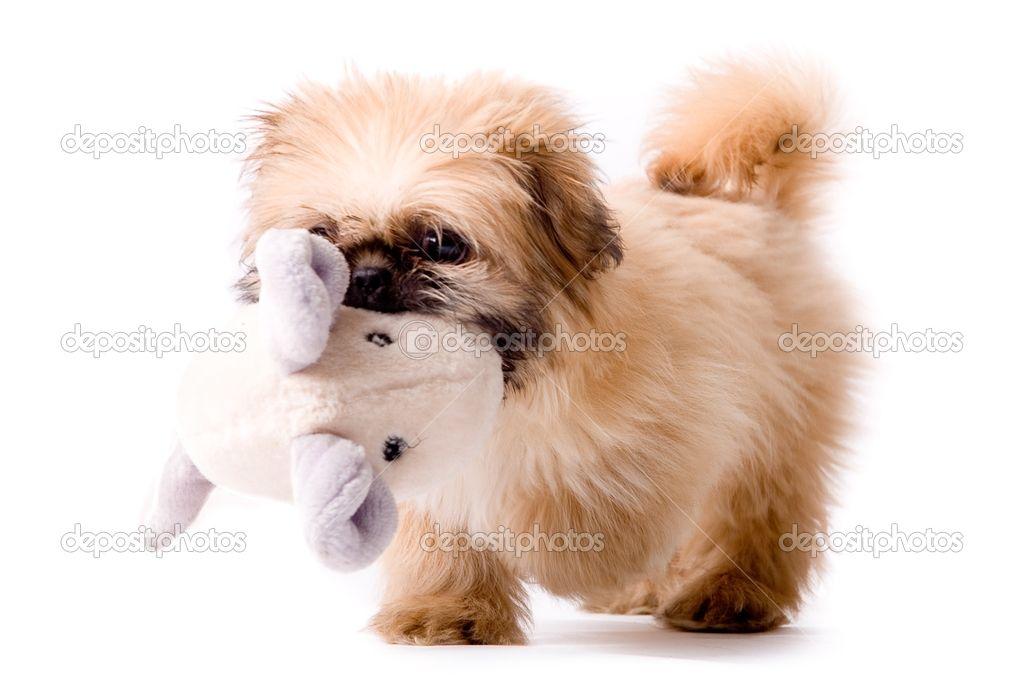 Pekingese dog brings you his toy | Stock Photo © Frenk and Danielle ...
