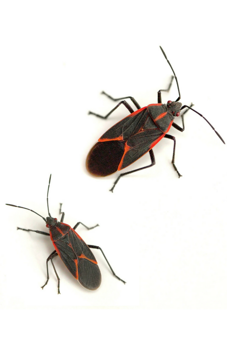 Did You Know Boxelder Bugs Get Their Common Name From The Fact That They Are Often Found On And Around Trees Click To More Fun Facts Learn