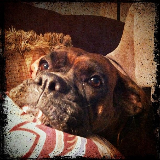 more smoogs (BC) ~ beautiful boxer face!