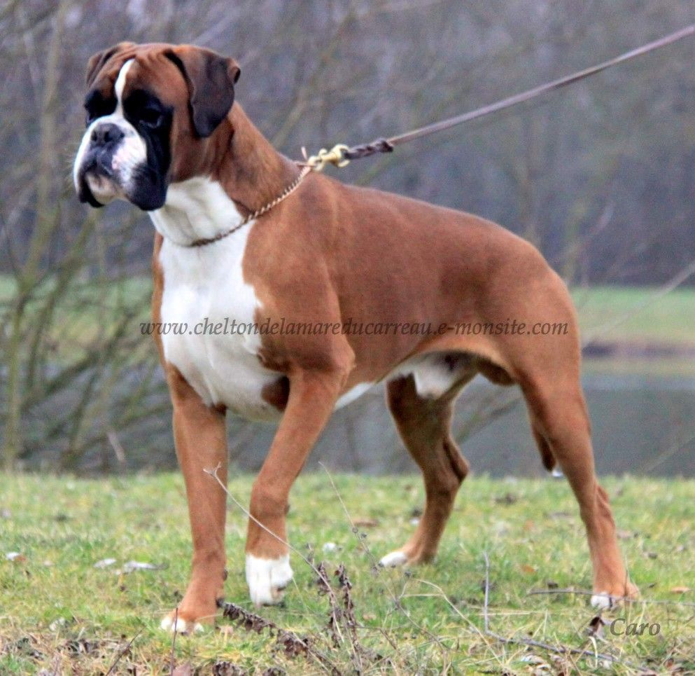 Pin By Shannon Daniels On Boxer Dogs Boxer Pets