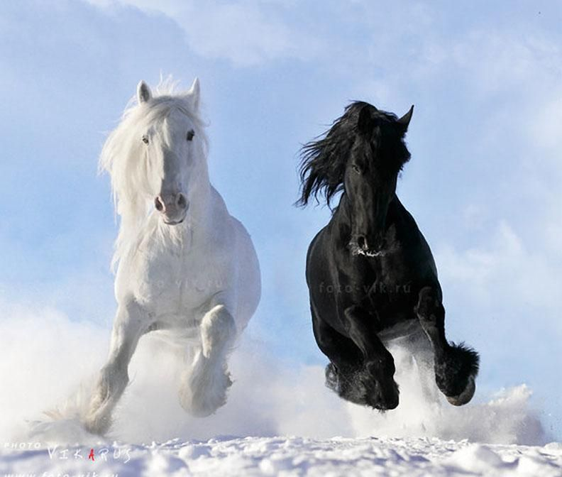 Gallery For Black And White Horses Horse Wallpaper Tera
