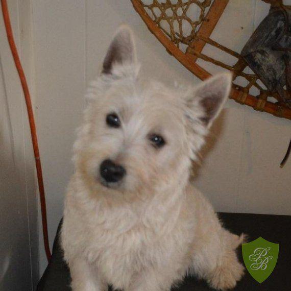 Puppies for Sale - Florida Westie Breeders   westies for