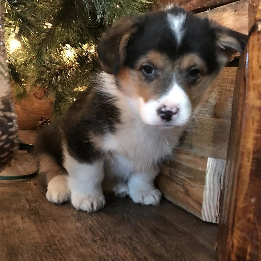 Corgi Puppies For Sale In Pa Quality Corgis Yorkie Puppies For