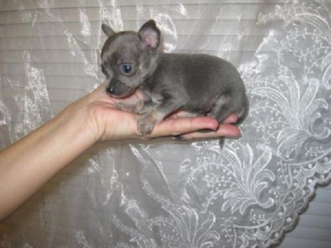 Teacup Chihuahua Puppies For Sale In Nc Zoe Fans Blog Teacup