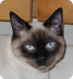 Harrisburg Pa Siamese Meet Diamante A Cat For Adoption Kitten Adoption Pets Cat Adoption