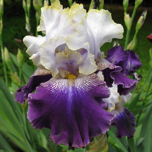 Iris Slovak Prince Iris Garden Iris Flowers Iris