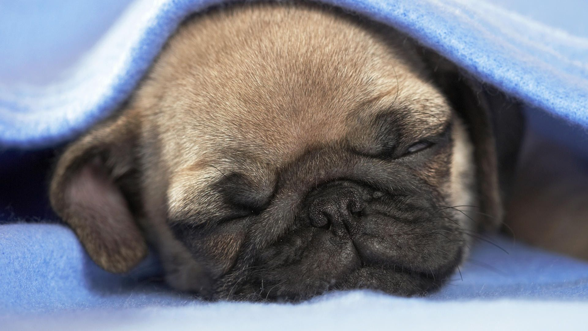 Cute Sleeping Pug Puppy Wallpaper Screensaver Background Puppies