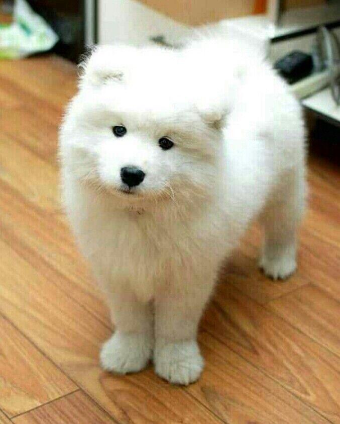 Gorgeous Pup Looks Like A Polar Bear Pup Samoyed Pinterest