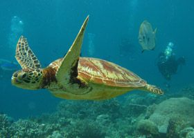 Turtle, Borneo | Dive, travel and volunteer for Marine Conservation at www.frontiergap.com | #dive