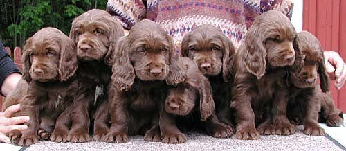 I Will Have A Sussex Spaniel Still One Of My Favouritest Dog