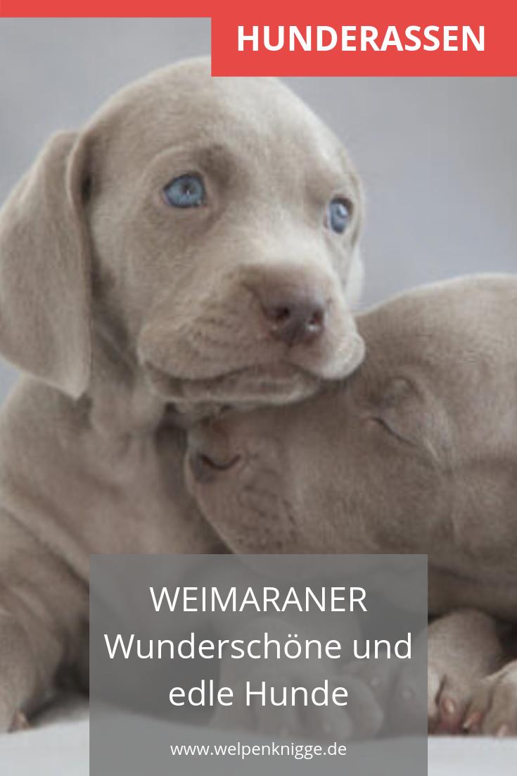 Weimaraner Welpen Hunde Rassen Weimaraner