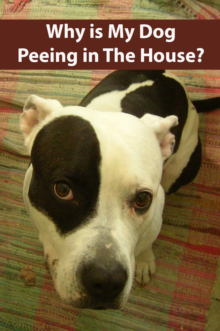 My Dog is Peeing Inside Dogs, Dog pee, Dog training