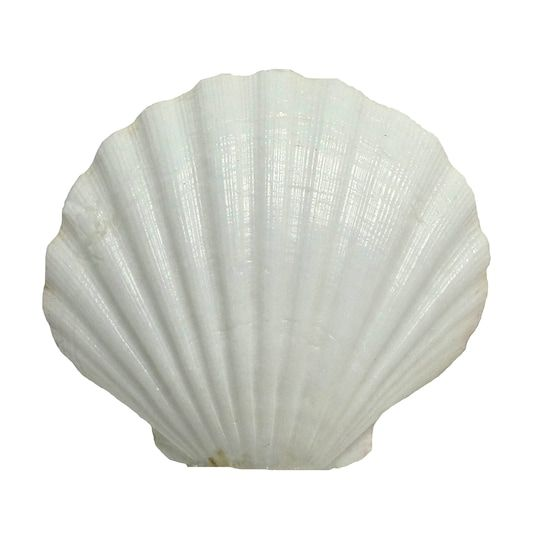 U.s. Shell Irish Deep Shell   Michaels®
