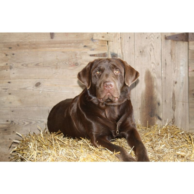 Puppies For Sale Labrador Retrievers Labs Labradors In