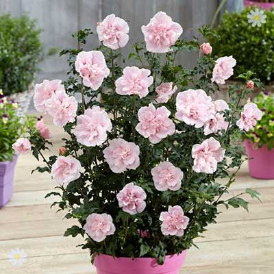 huge Hardy Shrubs Double Hardy Hibiscus 'Chiffon' collection - 3 x 9cm potted plants