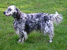 """English Setter was developed in England to help hunt game.  They have a feathered coat ehich is white with an intermingling of darker hairs resulting in markings called """"belton."""" Belton markings can be orange, blue (white with black markings), tricolor (blue belton with tan points), lemon and liver.   They are members of the sporting group and were AKC recognized in 1884. They range in size from 24 to 25 inches tall at the shoulder.   English Setter has an average lifespan of 10 to 12 years."""