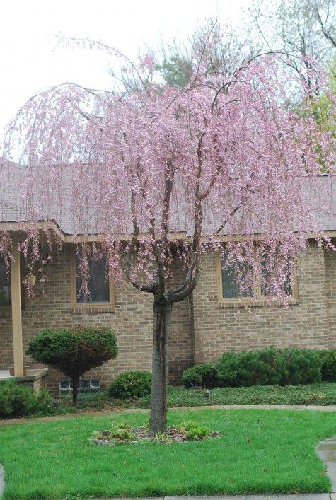 Spring Flowering Trees Dirt Simple Tree Spring Flowering Trees Weeping Cherry Tree