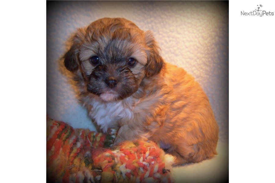 Chipoo chipoo for sale poodle mix dogs chihuahua