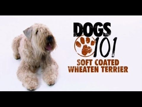 Dogs 101 Soft Coated Wheaten Terrier Eng You