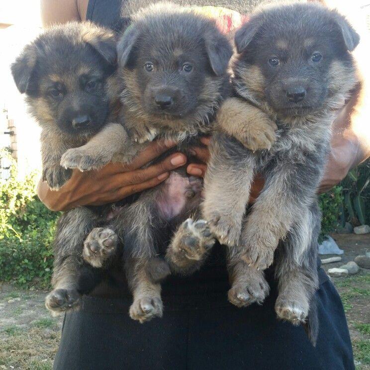 Blue German Shepherd Puppies Born Oct 21st 2015 Blue German