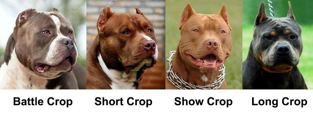 Ear Cropping Essential Tips For Puppy Owners Bully Dog Puppies