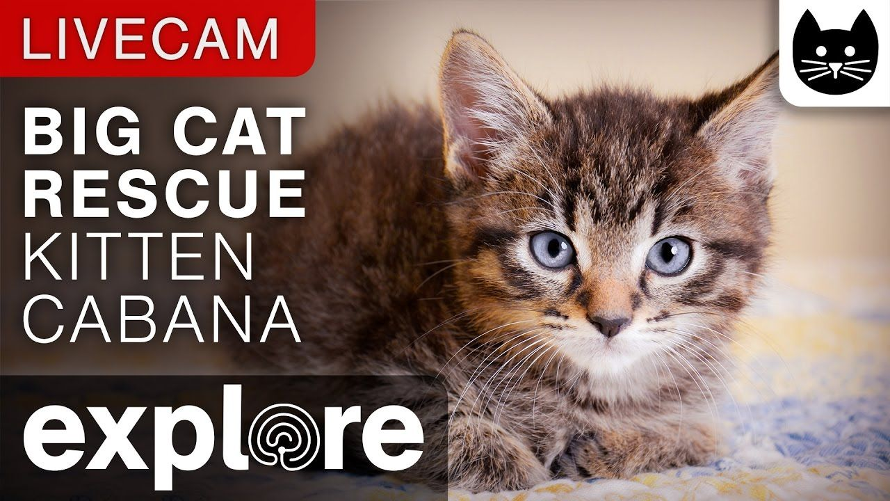 Kitten Cabana Big Cat Rescue Powered By Explore Org Big Cat Rescue Cats Big Cats