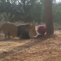 Cute lion playing with ball cuteness Overloaded  please follow Animals Board for more videos