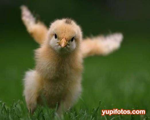 foto pollito queriendo aprender a volar