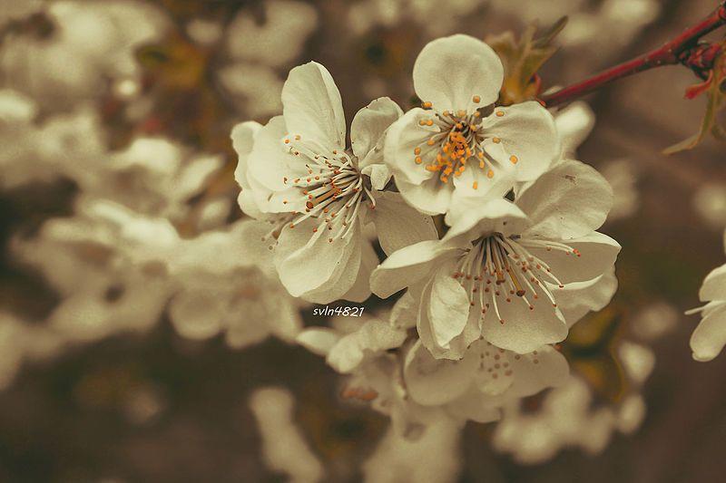 File Agac Cicek Tebiet Sekilleri Resimleri Photos Ordubad Svln4821 Jpg Flowers Blossom Rose