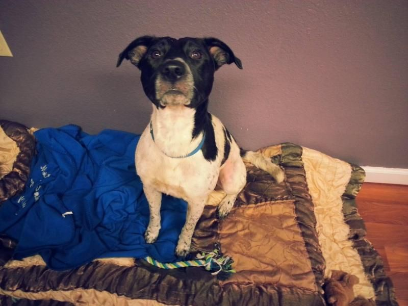 Adopt Beamer on Dogs of the world, American animals