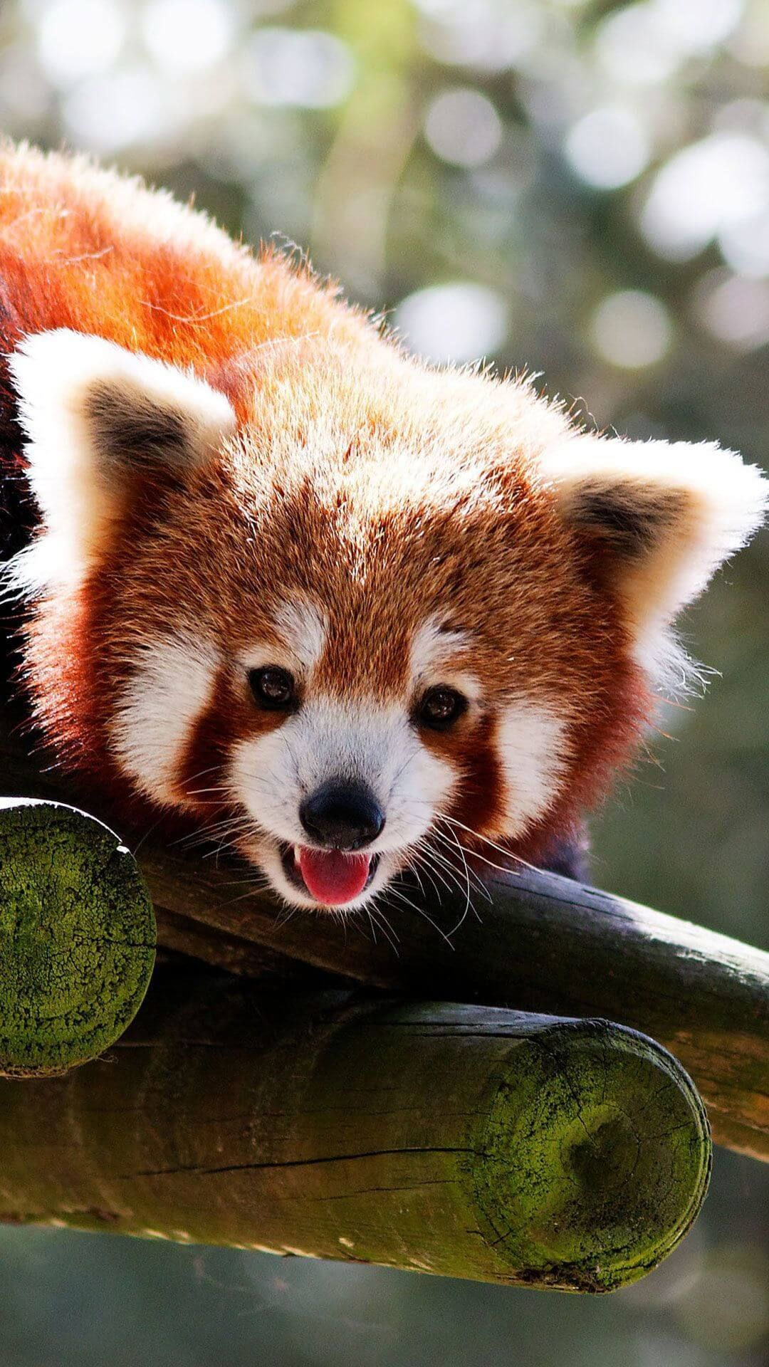 Cute Baby Red Pandas Wallpaper IPhone HD
