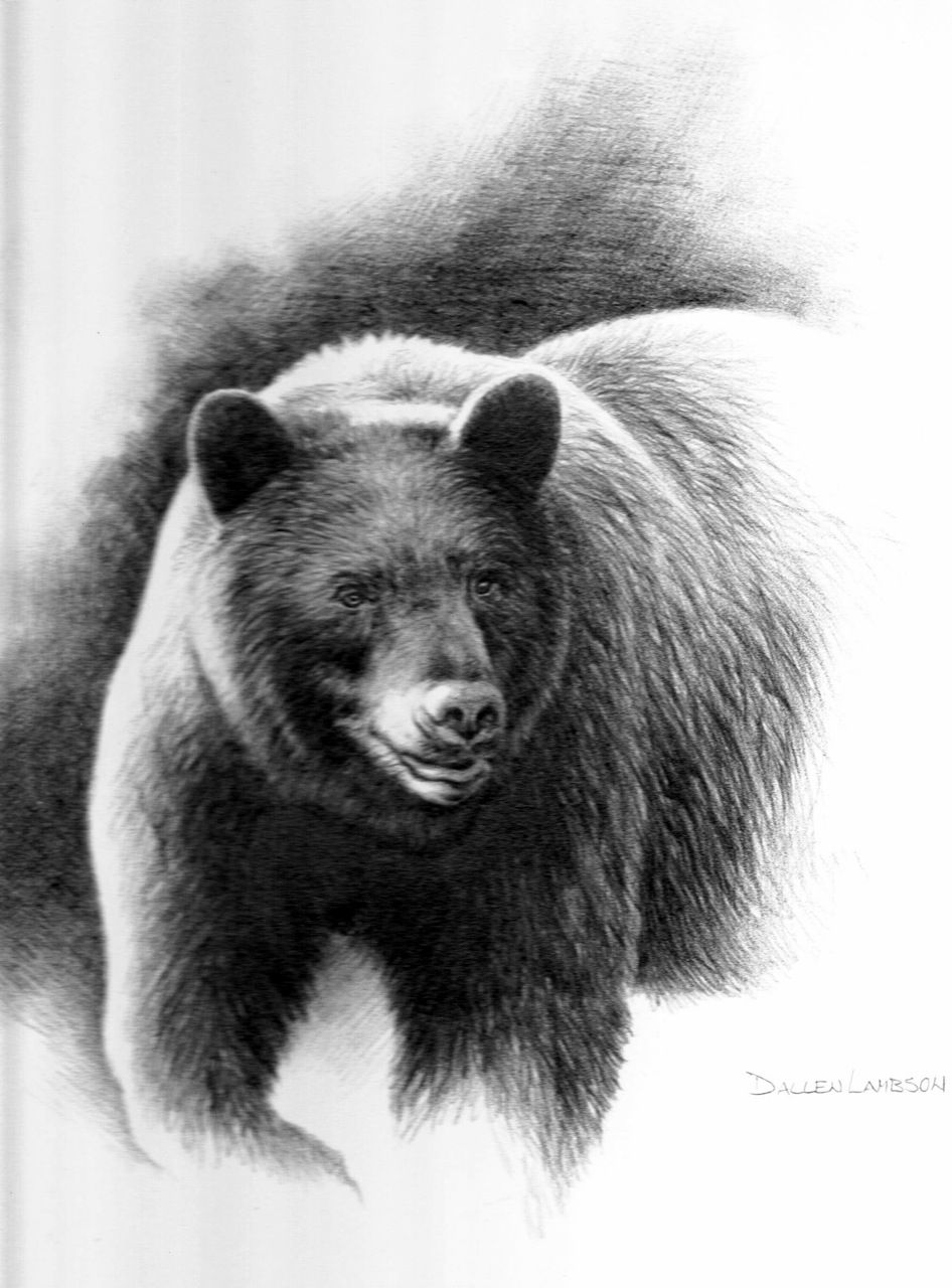 Black Bear Sketches And Drawings