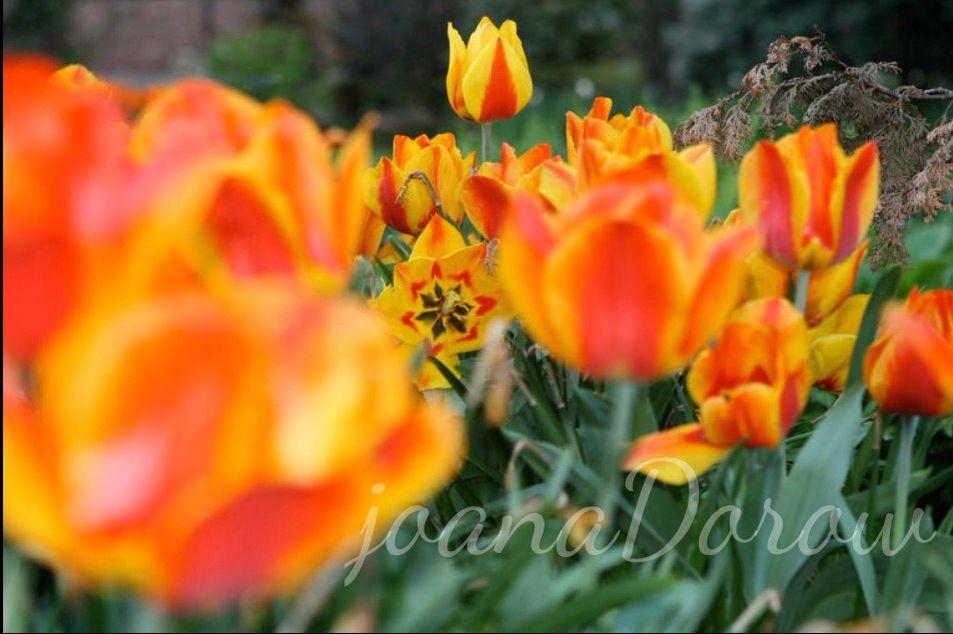 Tulip Garden in NYC!