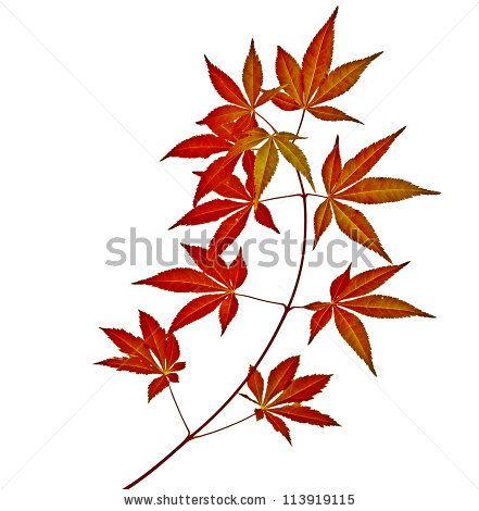Japanese Maple Leaf On Branch Stock Photos Japanese Maple Leaf On Branch Stock Photography Japanese Maple L Leaf Photography Japanese Maple Maple Leaf Tattoo