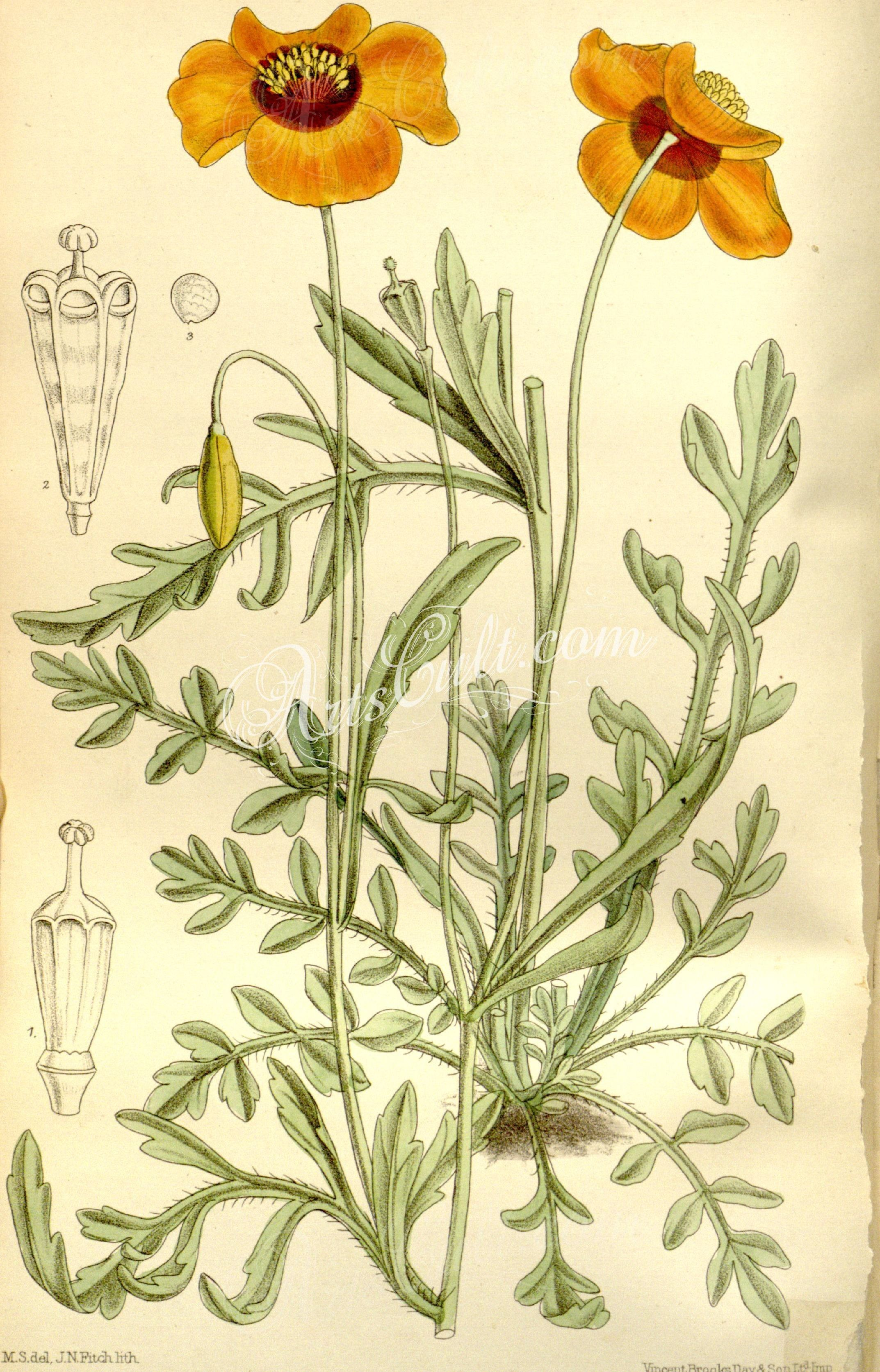 Cbm meconopsis heterophylla artscult pinterest