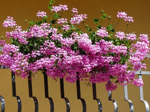 Kwiaty Na Balkonie Geraniums Plants Pelargonium