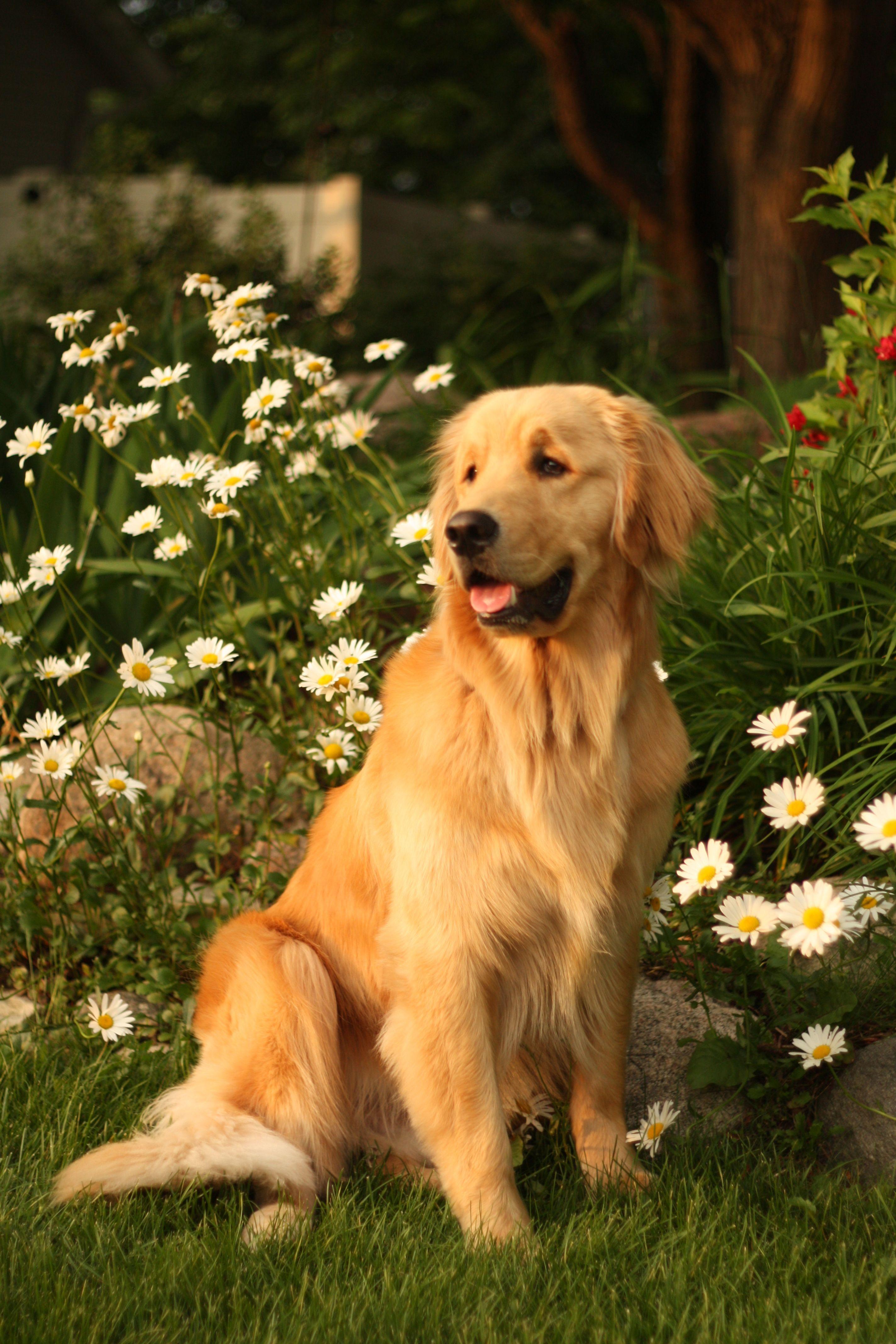 Golden Retriever Perfect Portrait Dogs Golden Retriever Golden Retriever Dogs