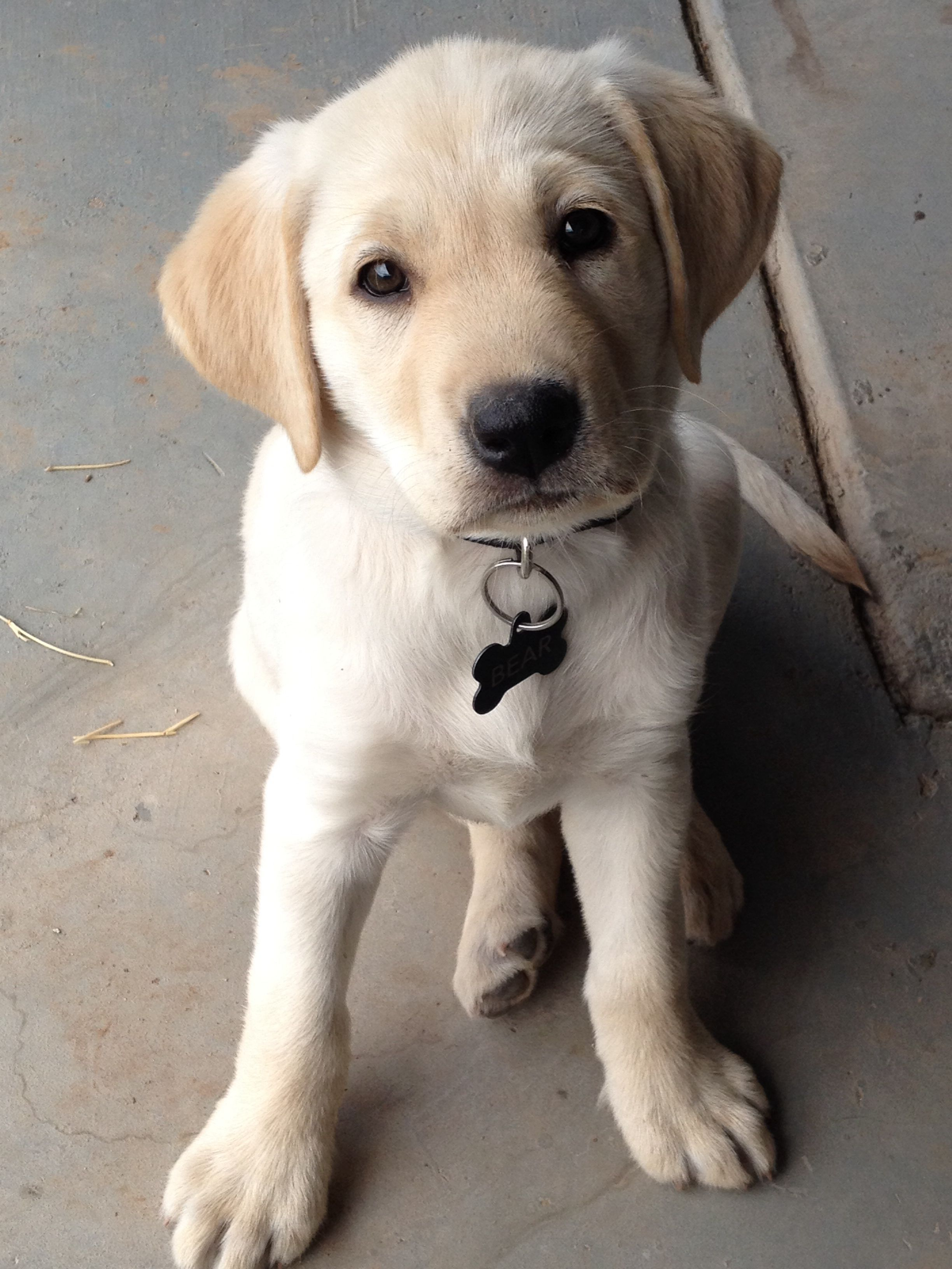 Pin By Annie Santoro On Just Makes You Smile Lab Puppies Labrador Puppy Cute Puppies